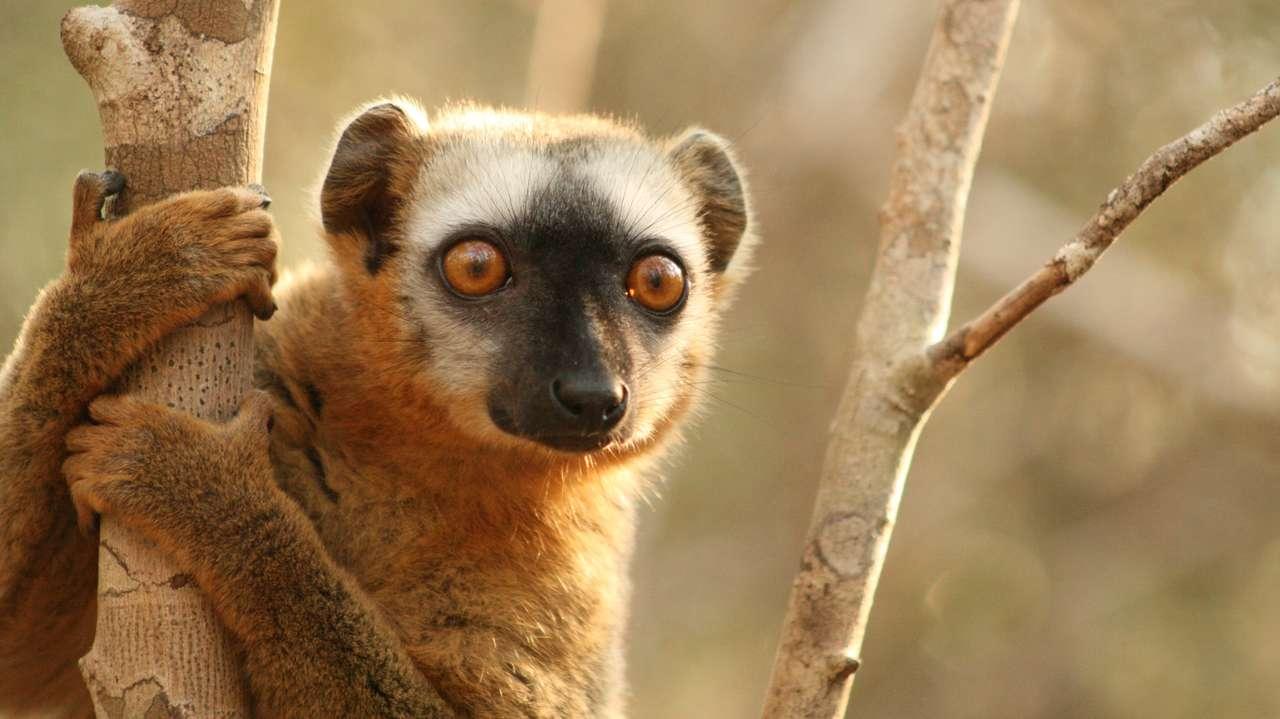Brown Lemur, Kirindy, Madagascar