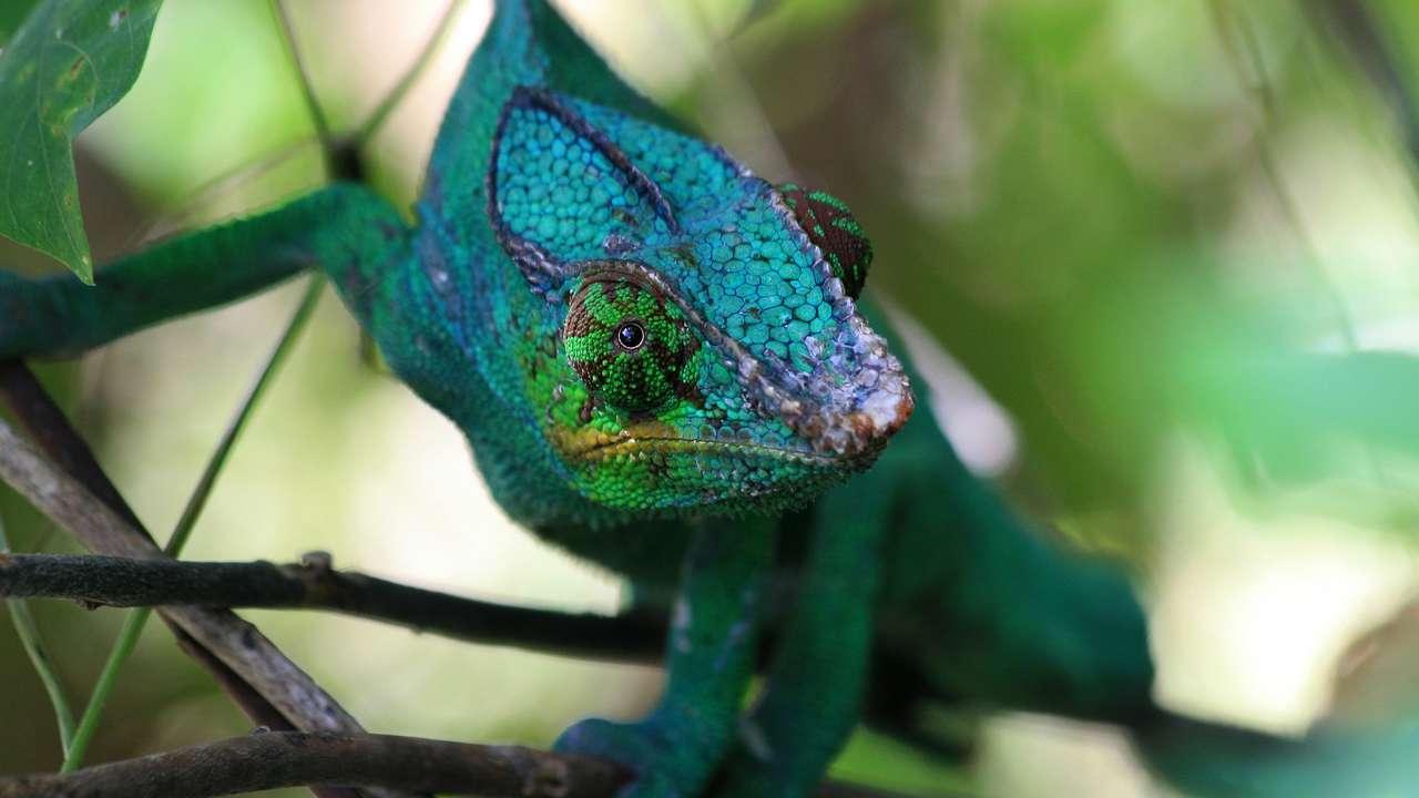 Chameleon, Andasibe, Madagascar