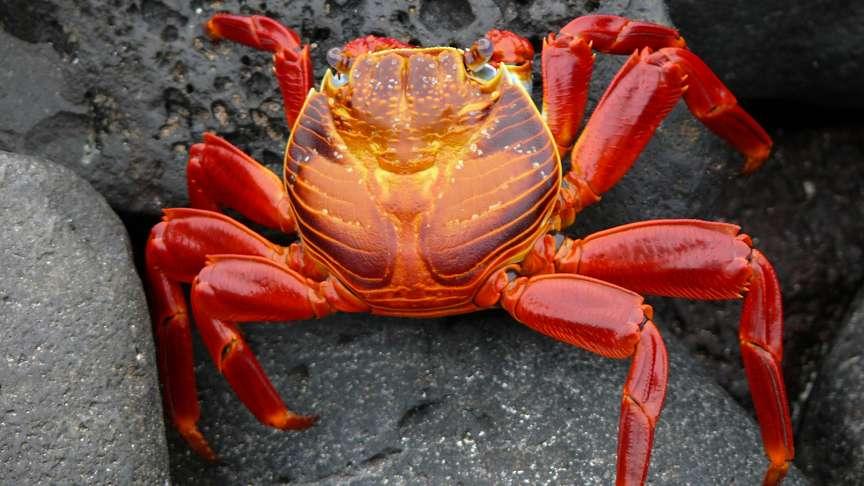 Sally Lightfoot Crab, Galapagos, Ecuador