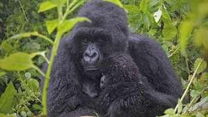 Uganda - Gorilla Trekking with the Gorilla Doctors