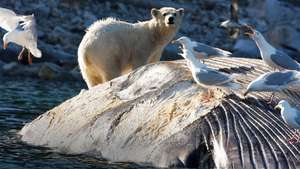 Spitsbergen - Explorer Polar Bear Cruise