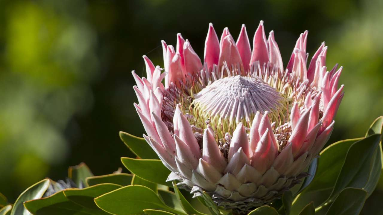 Protea King, South Africa