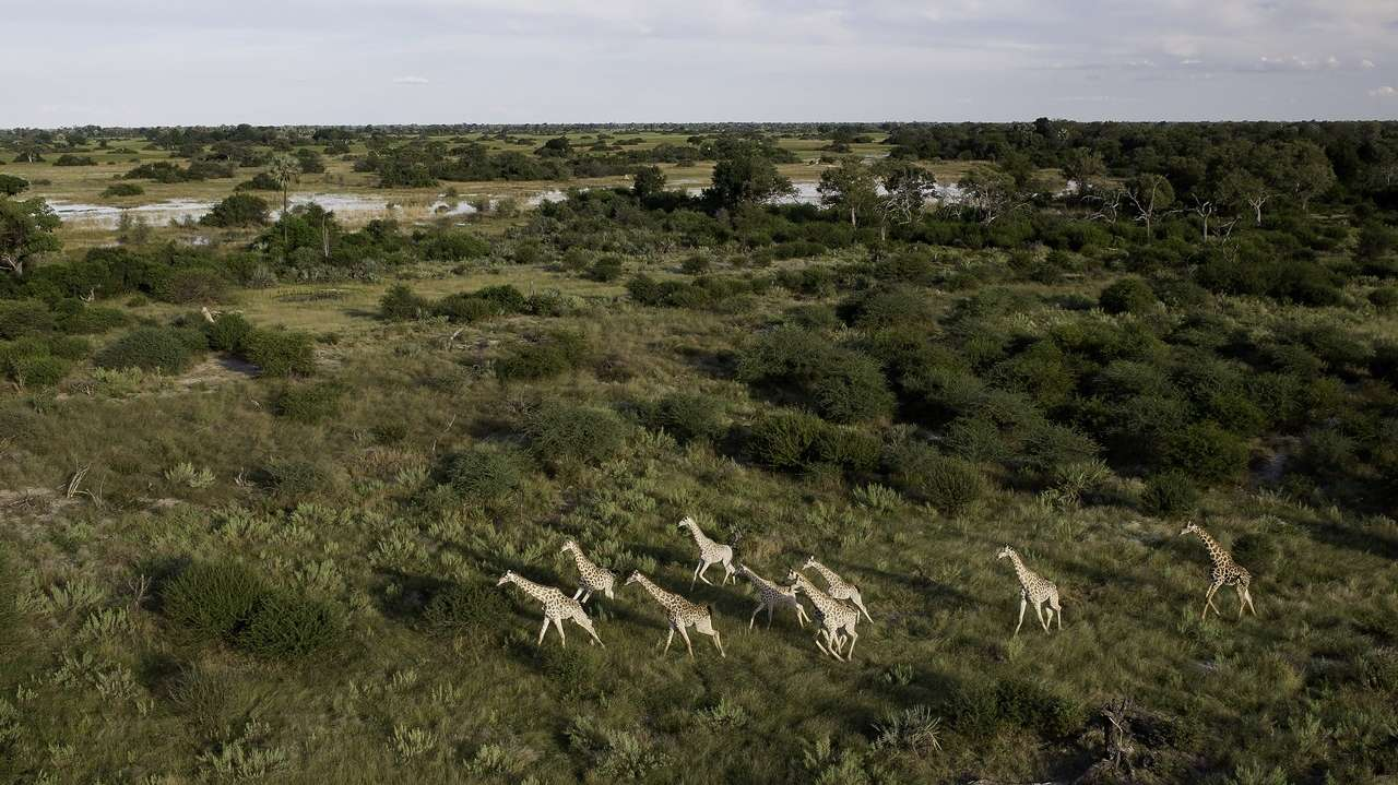 Aerial View with Giraffe, Tubu Tree Camp, Okavango Delta, Botswana