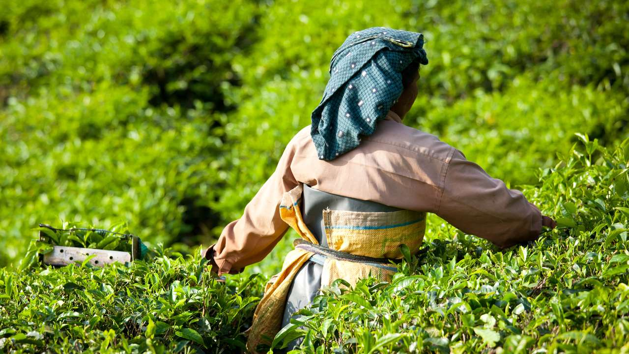 Woman picking Tea Leaves, Munnar, Kerala, India