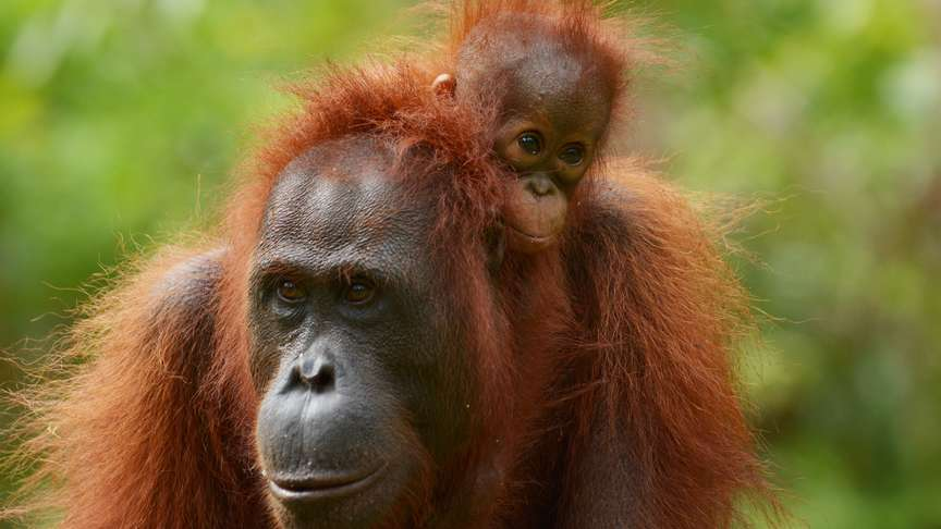 Korin and new infant Ketty at Camp Gemini, Lamandau, Indonesian Borneo, Orangutan Foundation